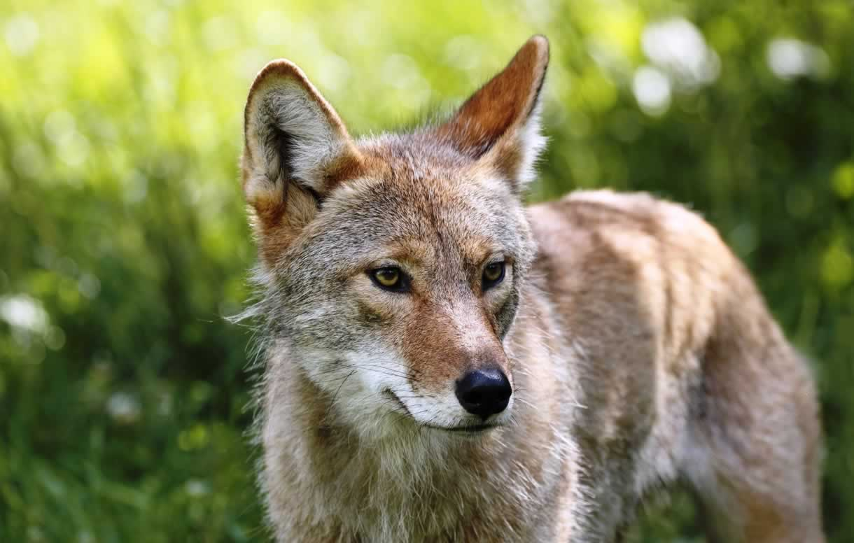 A coyote standing in grass, looking off to the side
