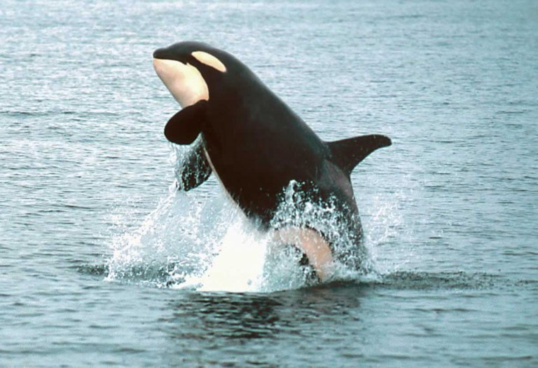 Orca in the wild jumping out of water