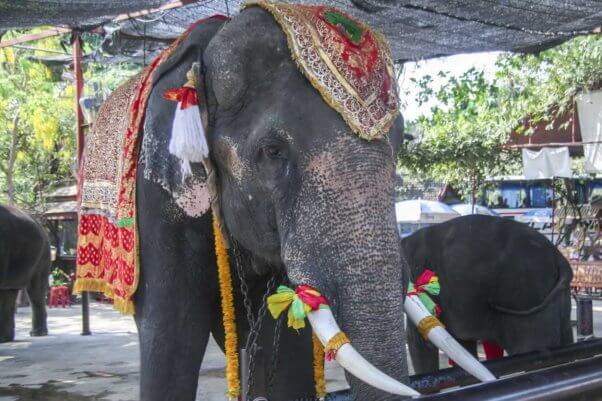 Elephant used for rides in Thailand