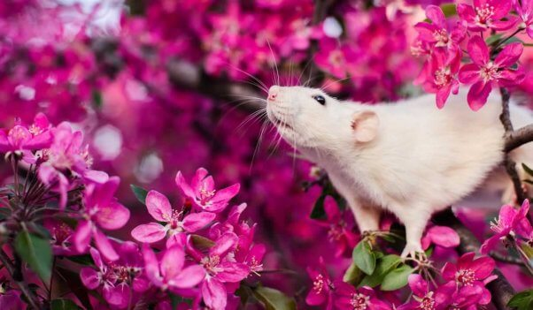 A white rat in a flowering bush sniffs the air
