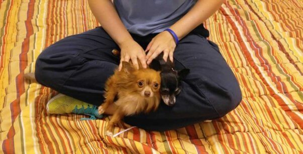 two Chihuahuas sitting in a person's lap