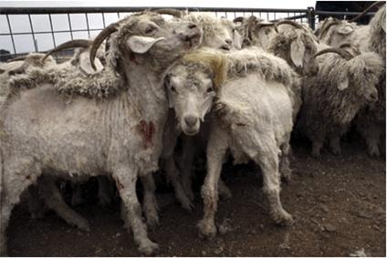 The Mohair Industry | PETA