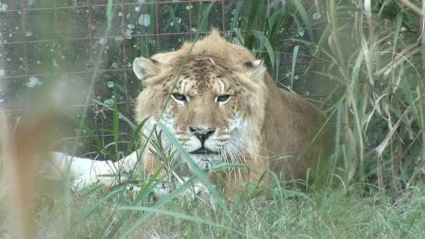 Freckles, a liger
