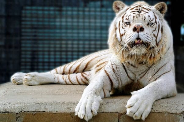 Inbred white tiger with cleft palate and crossed eyes