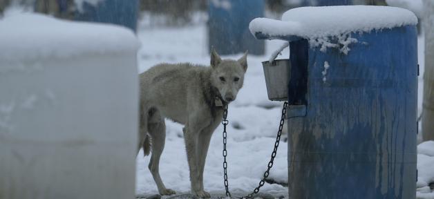dogfighting kennels vs. dogsledding kennels
