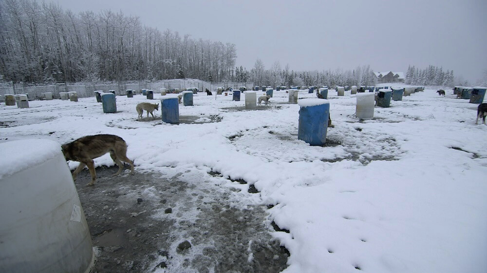 Tell Beverage Distributor that the Iditarod Is an Arctic Nightmare for Dogs