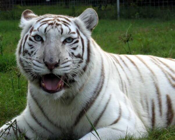 Zabu, a white tiger