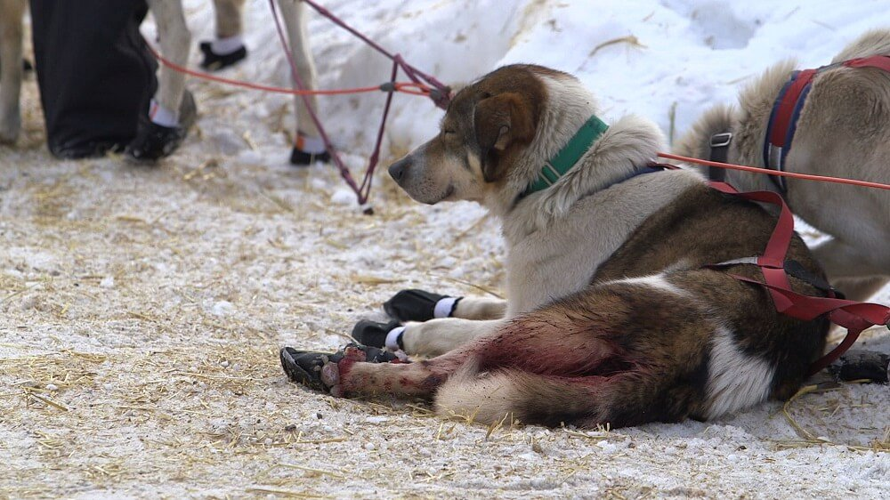 Despite Dog Deaths, These Companies Continue to Sponsor the Iditarod