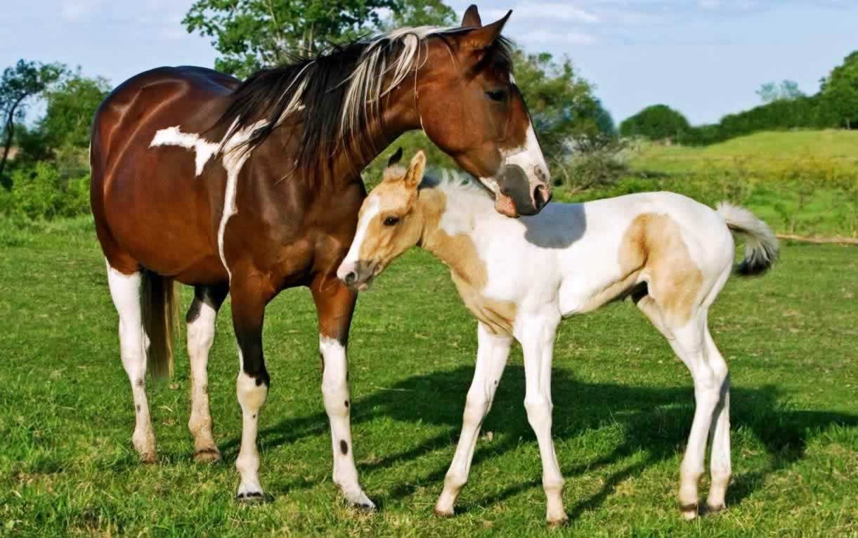 Brown-and white horse with young foal