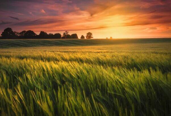 Beautiful sunset photo of wheat field