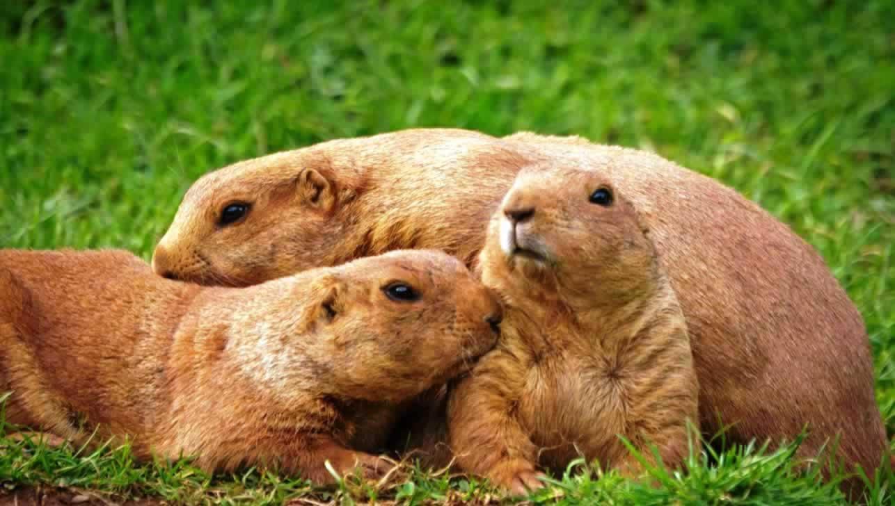 Three cute prairie dogs in a pile