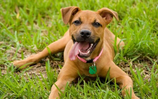 Cute smiley brown dog in grass