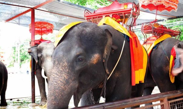 Three Asian elephants with seats strapped to them
