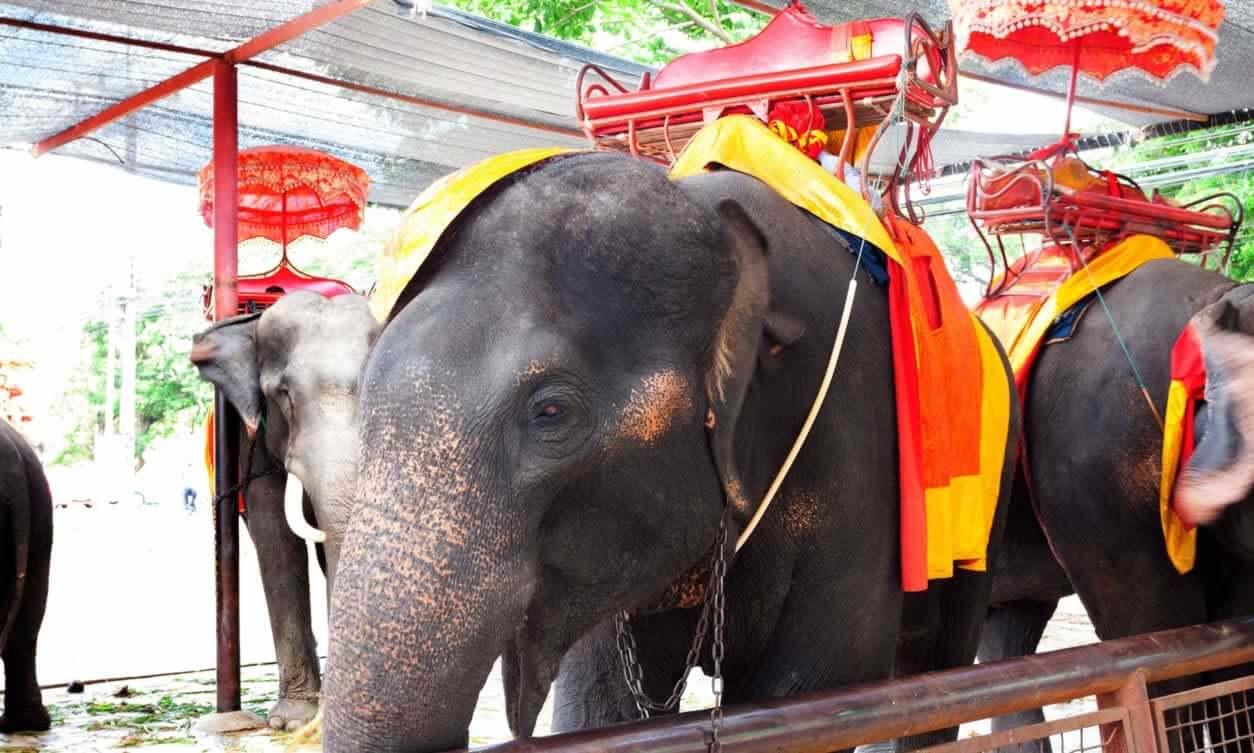 Elephant's Emaciation Hidden Under Festival Costume | PETA