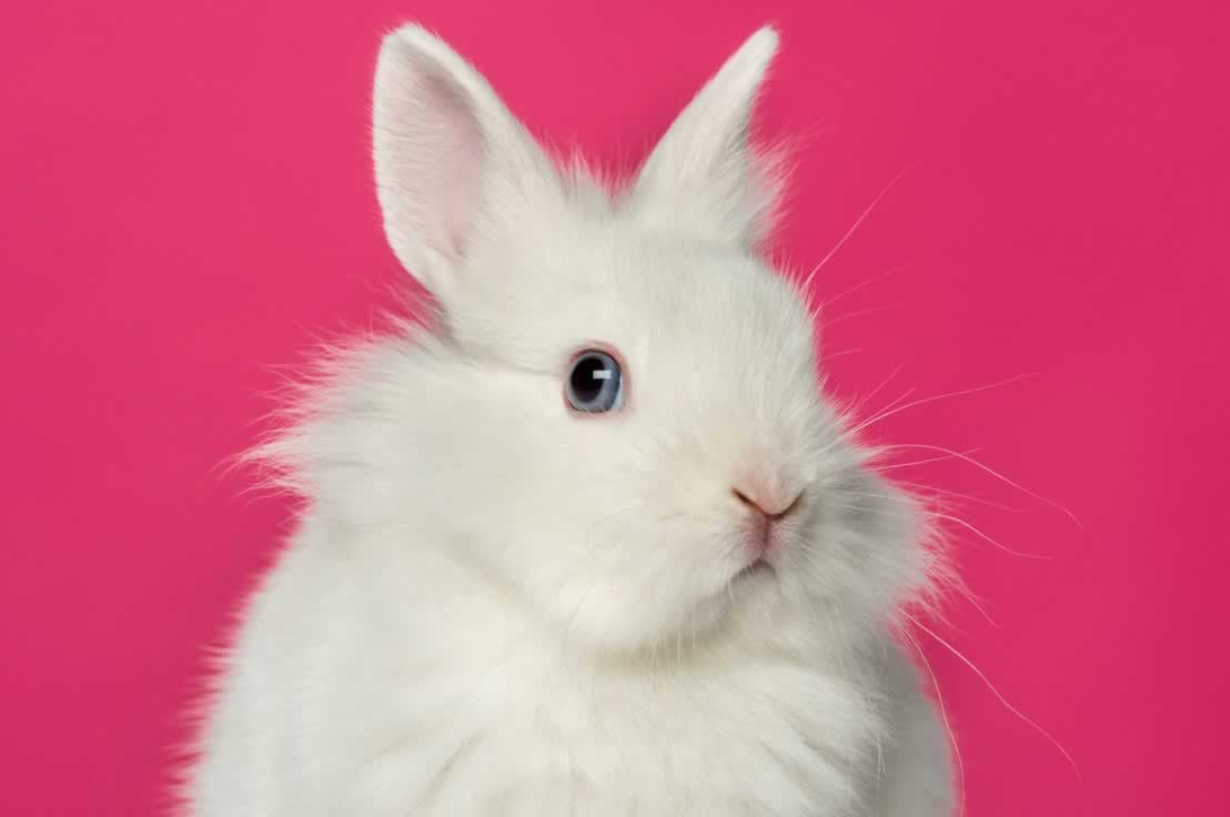 Fluffy white bunny against bright pink background