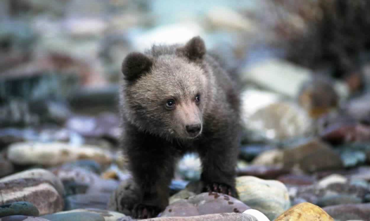 Baby grizzly bear standing on rocks