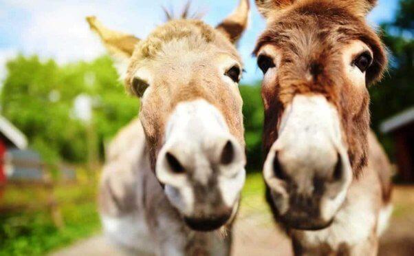 Close-up of cute donkeys looking into camera