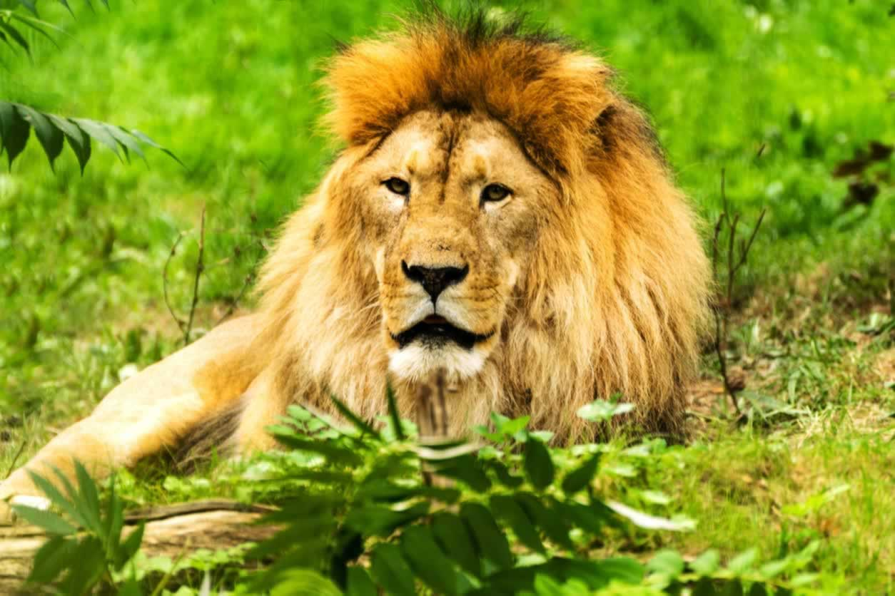 male lion surrounded by greenery