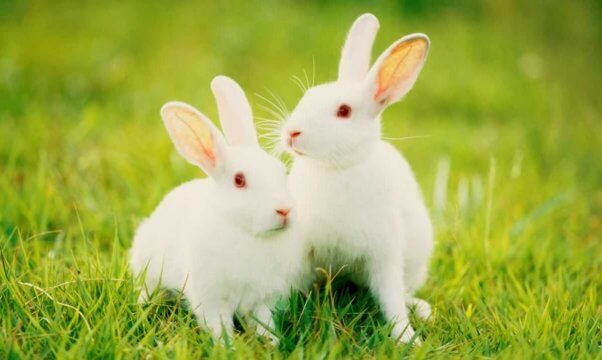 Two white rabbits in green grass