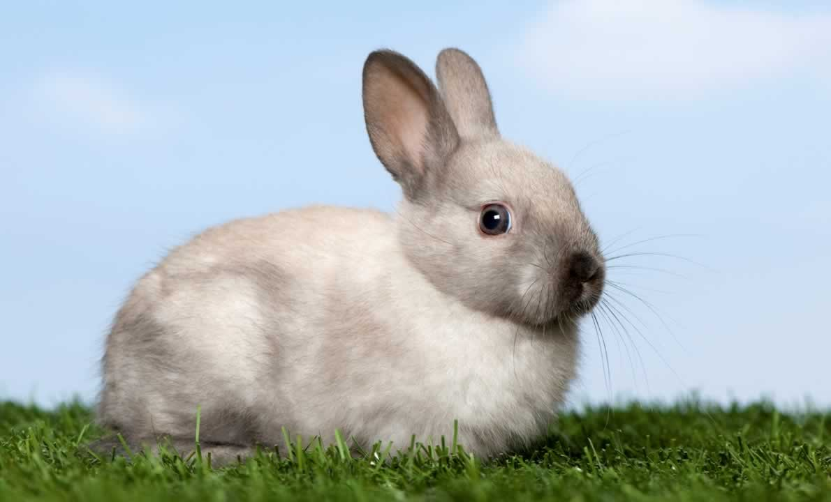 Gray-and-white rabbit sitting in grass