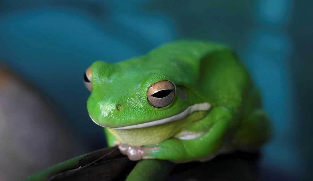 green frog against blue background