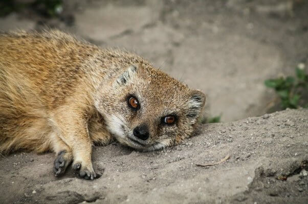 Mongoose resting on the dirt ground.