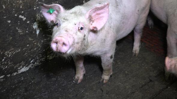 pig in German pig farm