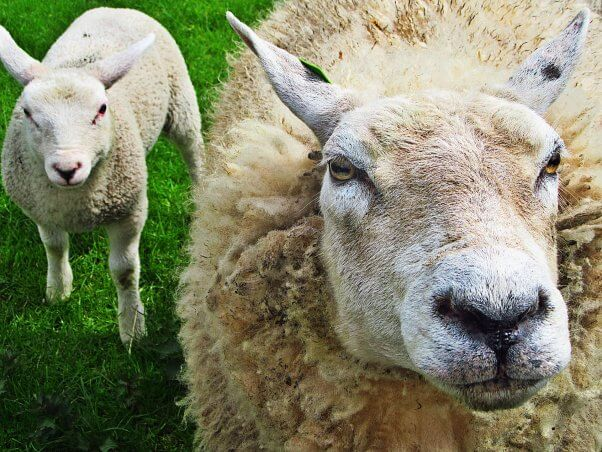 From Sheep To Sweater The True Cost Of Wool Grades 6 12