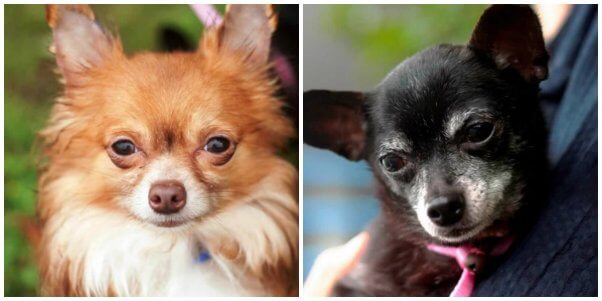 two cute Chihuahuas looking for a new home together