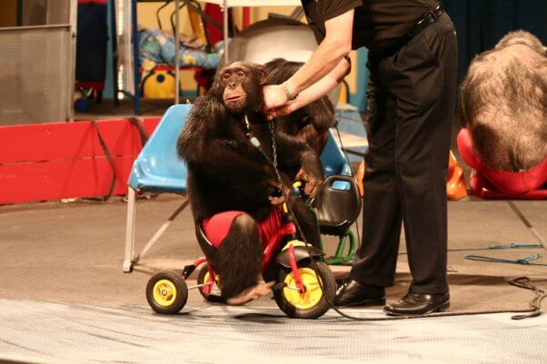 Chimpanzee forced to ride a tricycle in a staged show at German amusement park Schwabenpark