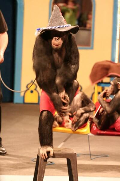 Chimpanzee standing on one foot on a stool attached to a leash held by a handler