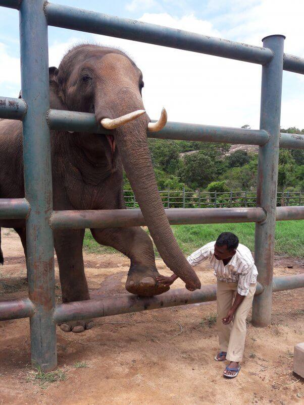 sunder, elephant, peta india, rescue, elephant sanctuary