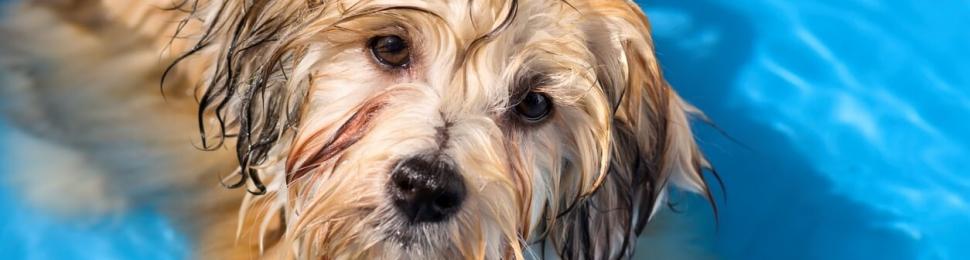 Cute wet brown dog in pool