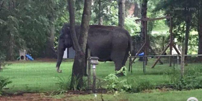 Run, Kelly, Run! Elephant Makes a Bid for Freedom