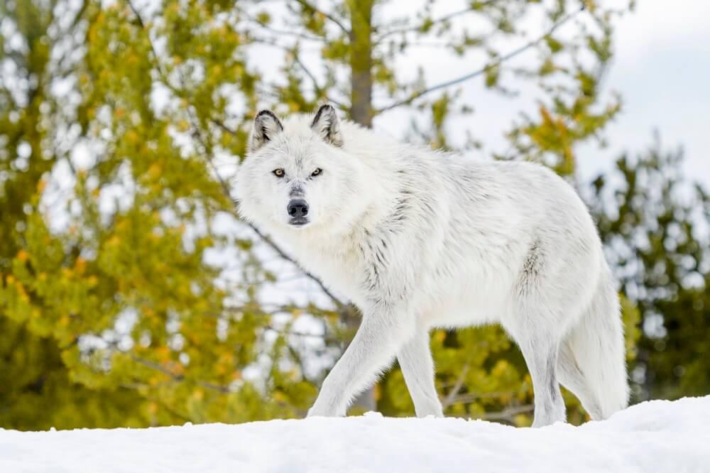 Poacher Kills Famous, Rare White Wolf in Yellowstone ...