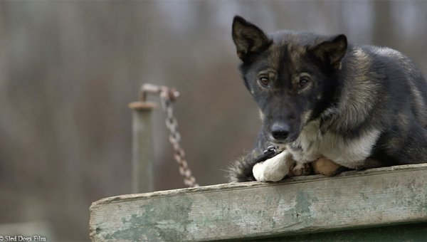 sled dog chained outside