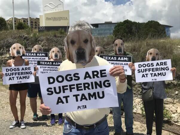 Texas A&M University, TAMU, dog laboratory, muscular dystrophy, dog mask demonstration