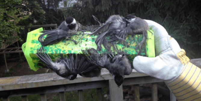 Devastating Photo Shows Why You Should Never Use Glue Traps