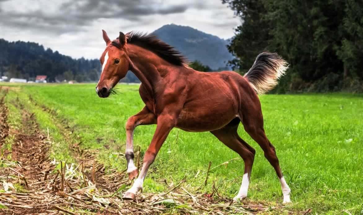Brown colt running in field of grass