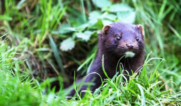 Cute dark brown American mink in the wild