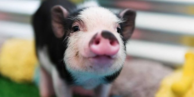 Five Short Videos of Pigs Being Adorable That Will Make You Smile