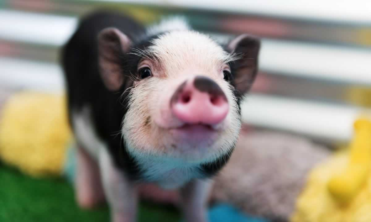 Cute, happy black-and-white piglet