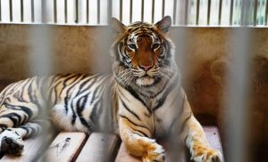 tiger behind bars in small enclosed area