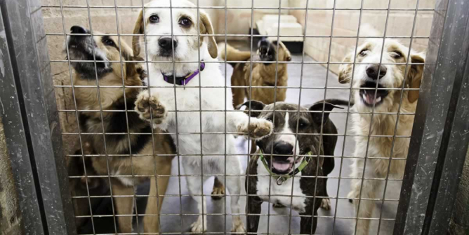 The New York Times Column: 'Are We Loving Shelter Dogs to Death?'