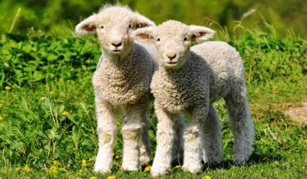 Two cute white lambs standing in green grass