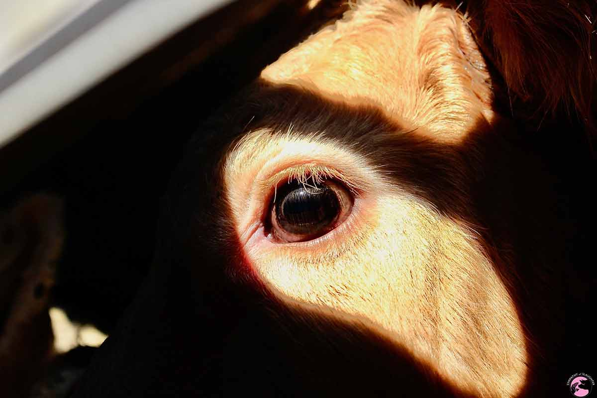cow eye in sunlight