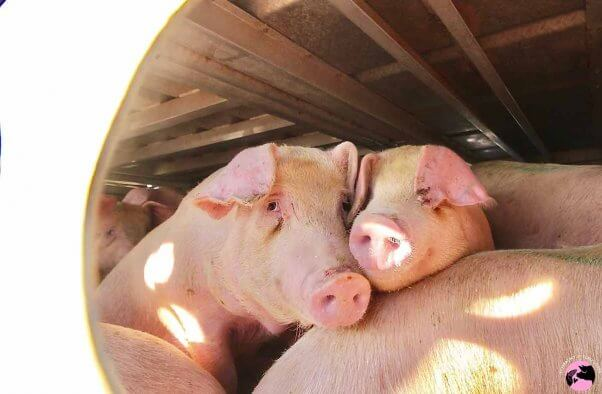 two pigs transported to slaughter