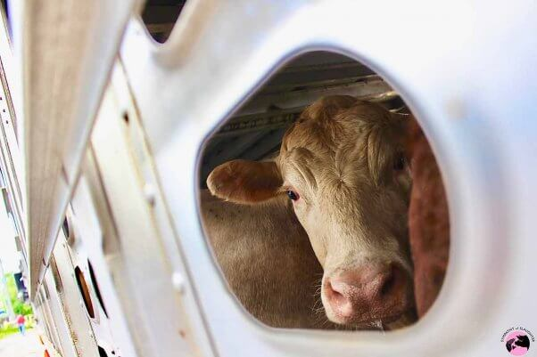 cow on transport truck