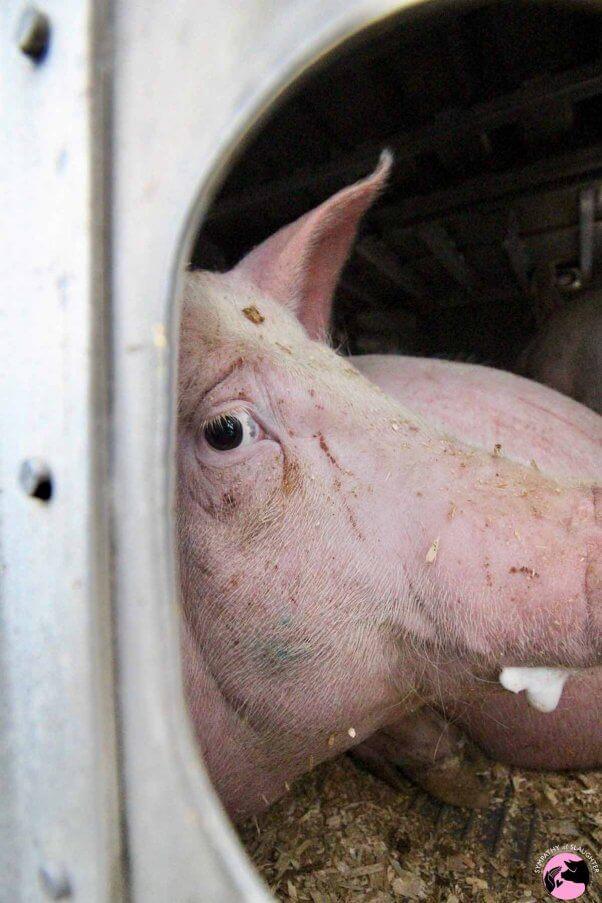 Pig foaming at mouth