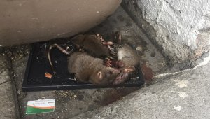 Virginia Prisons Torturing Rodents!